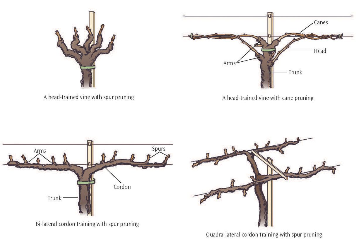 The Basics of Vineyard Pruning